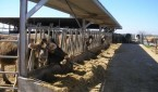 allevamento-mucche-inquinamento