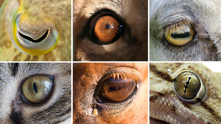 Scoperto perch gli occhi degli animali hanno forme cos for Gatti con occhi diversi