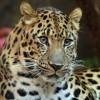 Amur_Leopard_(1970226951)