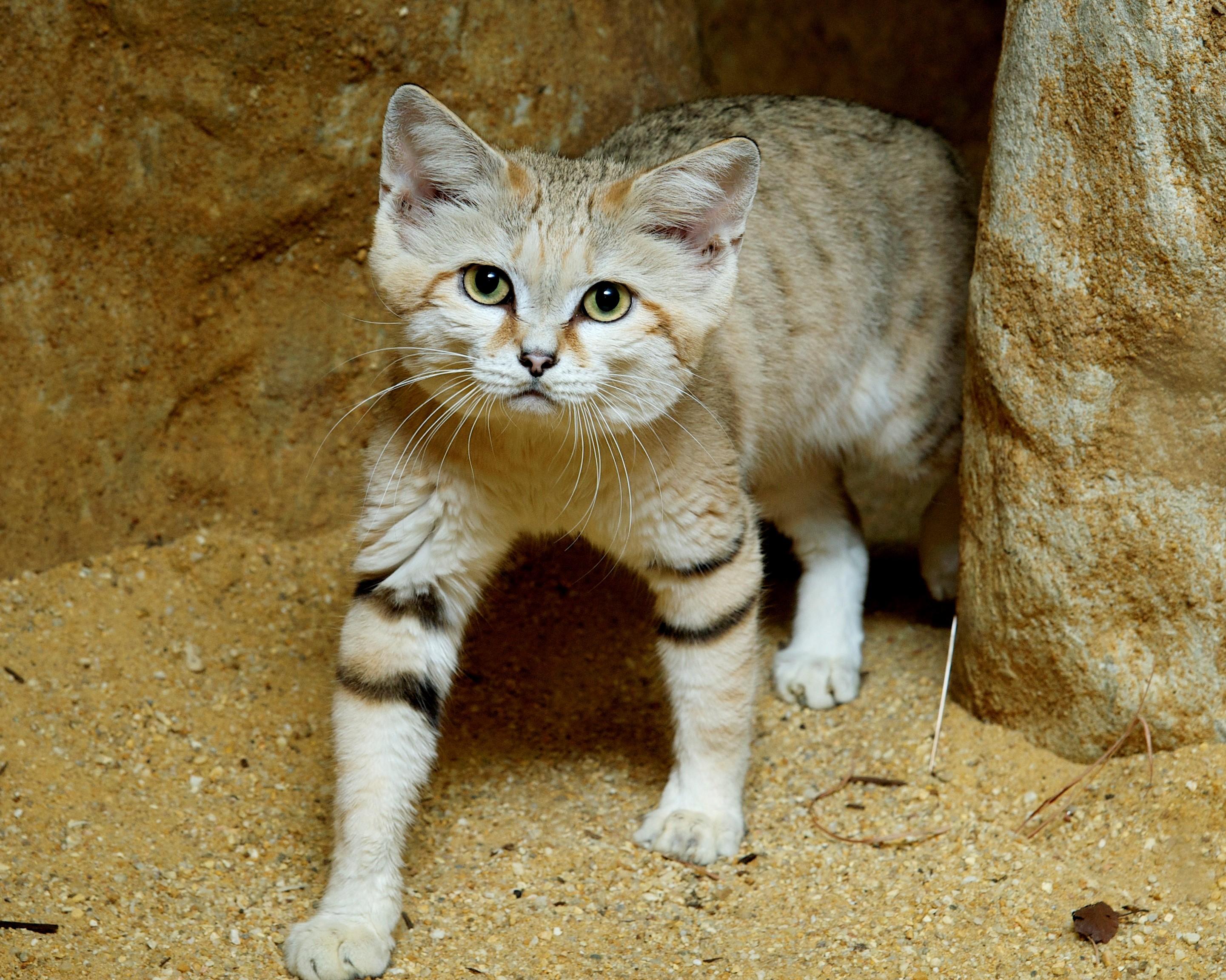 Gatti Selvatici Africani